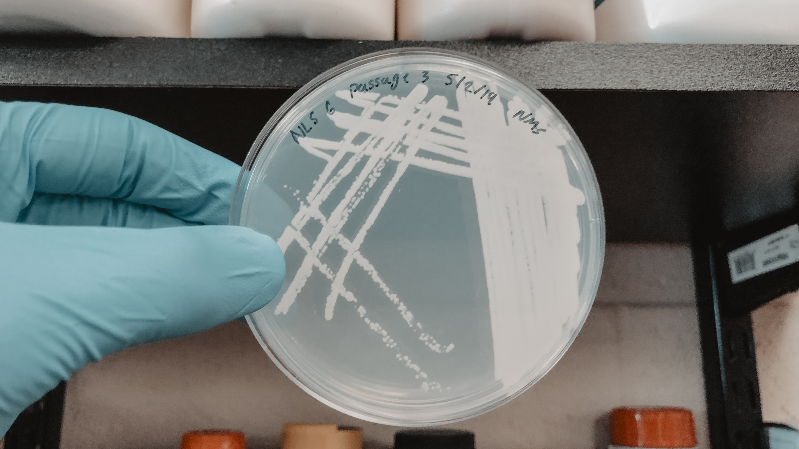 Petri plate with colonies of a methanotrophic microorganism